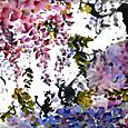 藤の花 wisteria